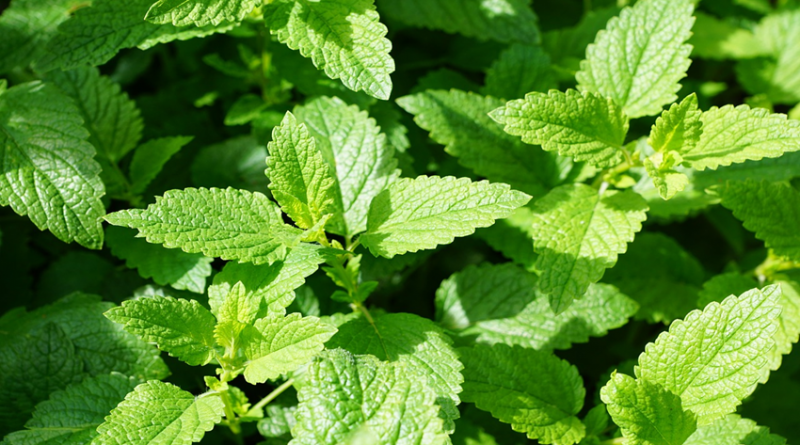 Photo of some mint leaves
