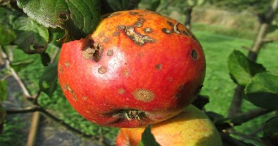 photo of a rotting apple on the tree