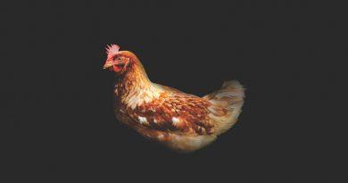 Photo of a chicken