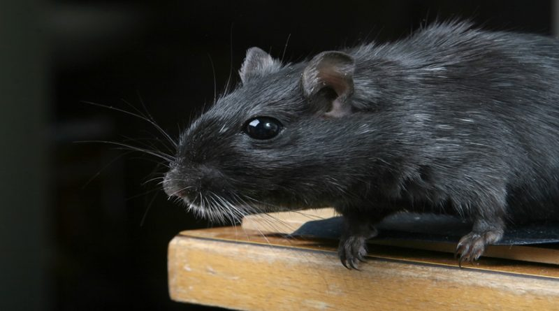 Photo of a black rat