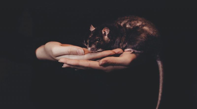 Black rat sitting in a hand