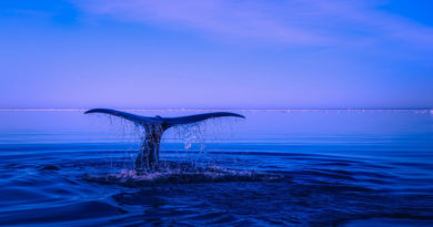 whale tail emerging from blue sea